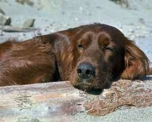 Close up upper body shot - A red Irish Setter is sleeping on a stone with sand behind it