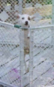 Front view - A white with tan Parson Russell Terrier dog jumped up on the side of an outdoor pen on top of a wooden deck.