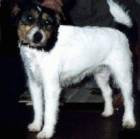 Close up side view - The left side of a white with tan and black Parson Russell Terrier looking forward. The dog's body is all white and it has black and tan on its head.