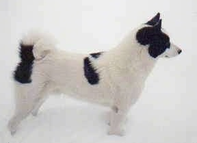 Right Profile - A white with black Karelian Bear Dog is standing outside in snow