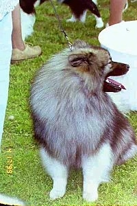 A Keeshond is sitting in grass at a dog show and looking to the left. Its mouth is open and tongue is out