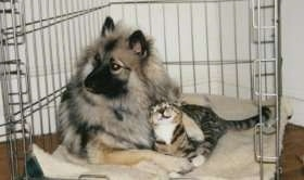A Keeshond is cuddled next to a cat in a dog crate