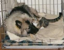 A Keeshond and a cat are laying closely in a dog crate. The cat is rubbing on the dog.