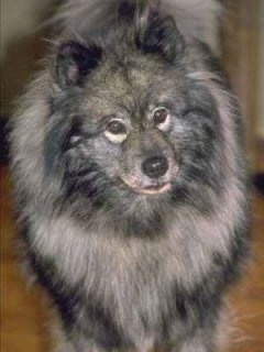 Close Up front view upper body shot - A Keeshond is standing in a room with its head tilted slightly to the left.