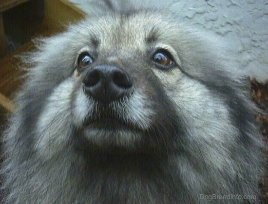 Close Up head shot - A Keeshond with its ears pinned back.