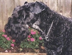Close Up Left Profile head shot - A black Kerry Blue Terrier is wearing a silver choke chain standing in front of a wooden fence with pink flowers growing along side of it.