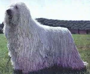 Side view - A white Corded Komondor is standing in grass and looking up and to the left. Its mouth is open