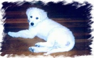 A white Kuvasz is laying on a hardwood floor and looking back
