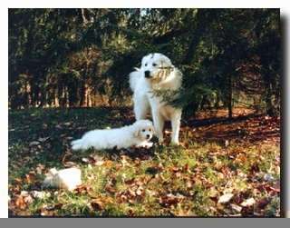 Hungarian Kuvasz - Adult and Puppy