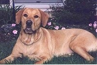 A tan Labrador Retriever is laying in grass. There is a flower bed with pink flowers and a house behind it