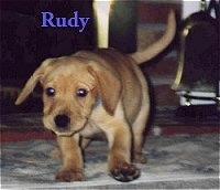 A tan Labrador Retriever puppy is walking across a carpet and its head is down. The word - Rudy - is overlayed