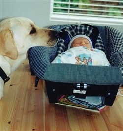 A yellow Labrador Retriever has its head on the side of a bassinet car seat that a sleeping newborn baby is in.