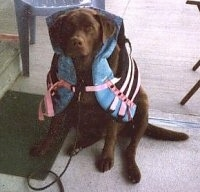 A chocolate Labrador Retriever is sitting on a deck and it is wearing a life vest and looking up