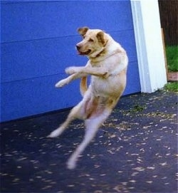 Action shot of dog in mid-air - A yellow Labrador Retriever is jumping in the air in front of a blue garage door.