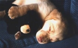 A yellow Labrador Retriever puppy is sleeping on a couch and it has one of its paws overtop of a stuffed bear