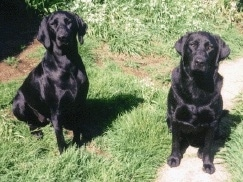 Two adult shiny black Labrador Retrievers are sitting in grass and they are looking up