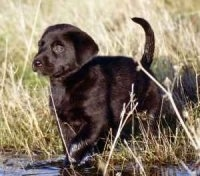 A black labrador Retriever puppy is trotting around in water and tall grass.