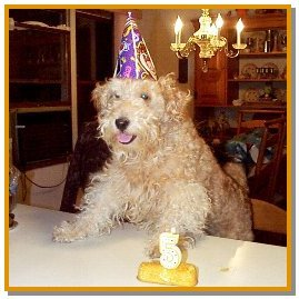 A wavy-coated tan Lakeland Terrier is standing on a chair with its front paws up on a dining room table. It is wearing a purple birthday hat. There is a twinkie on top of a table with a lit candle that is shaped like a number 5. There is a wooden hutch with dishes on it behind the dog.