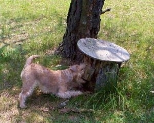 A wavy-coated tan Lakeland Terrier is kneeling in front of a stump next to a tree.