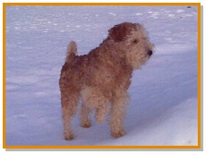 A wavy-coated red Lakeland Terrier is standing in snow with its front paw in the air.