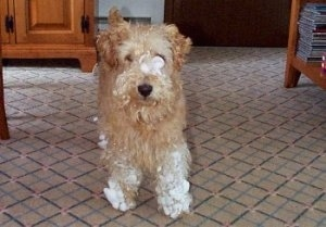 A shaggy-looking tan Lakeland Terrier is standing in a tan carpeted living room and it has snow all over its paws and face.