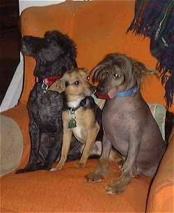 Three dogs sitting on an orange arm chair - A black miniature Poodle next to a tan and black with white Chihuahua mix and a hairless Chinese Crested dog. The Chinese Cresteds tongue is sticking out the side of its mouth.