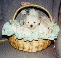 A tiny shorthaired white Maltese puppy is sitting in a tan wicker basket on top of a light blue chair.