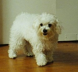 A wavy-coated white short haired Maltese is standing on a hardwood floor in front of a white wall looking to the left.