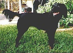 Left Profile - A black Markiesje dog is standing in grass and it is looking to the left of its body. It has fringe hair on its tail.