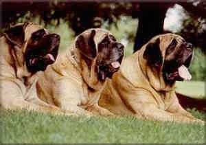 Three huge panting English Mastiffs are laying in a row in grass.