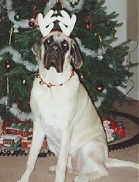 A tan with black English Mastiff is wearing reindeer antlers sitting in front of a Christmas tree that has a toy railroad set under it.