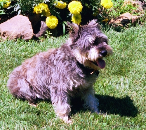 A grey with white Miniature Schnauzer is sitting in grass and there is a yellow flower bush behind it. Its mouth is wide open.