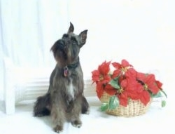 A black and tan with white Miniature Schnauzer is sitting in front of a white window next to a red poinsettia plant in a tan wicker basket.