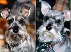 Left Picture Close up head shot - A grey with white Miniature Schnauzer. Right Profile Close Up head shot - A grey with white Miniature Schnauzer is wearing a bandana looking forward.