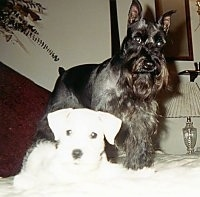 A white Miniature Schnauzer puppy is laying on a bed next to a standing black Miniature Schnauzer.