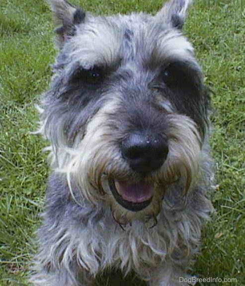 Close up head shot - the face of a grey with white Miniature Schnauzer that is sitting in grass. Its mouth is open.