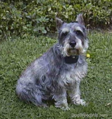 Front view - A grey with white Miniature Schnauzer is sitting in grass and there is a bush behind it.