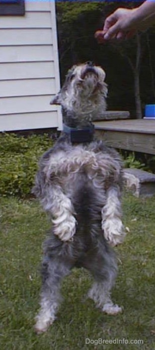 Front view - A grey with white Miniature Schnauzer is standing on its hind legs showing its belly and its head is held up in the air.