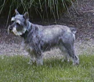 Left Profile - A grey with white Miniature Schnauzer is standing in grass and there is a large bush area behind it.