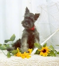 A black with white Miniature Schnauzer puppy is sitting on a rug in front of yellow flowers.