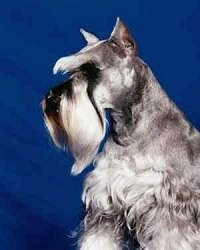 Front view - A grey with white Miniature Schnauzer is sitting in front of a blue backdrop and looking to the left.