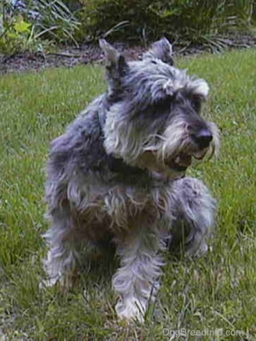 A grey with white Miniature Schnauzer is sitting in grass and it is looking to the right.