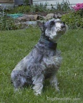 Side view - A grey with white Miniature Schnauzer is sitting in grass and it is looking up.