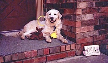 A Great Pyrenees is laying next to a toy sized red Min Pin dog on a brick step and against a brick wall of a home. There is a yellow step bo toy around its neck.