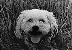 Head shot - A black and white photo of a panting Miniature Poodle that is standing in tall grass.