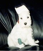 A white Miniature Schnauzer puppy is sitting on a black leather couch and its ears are taped up.