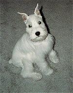 A white Miniature Schnauzer puppy is sitting on a tan carpet looking up.