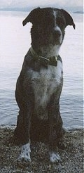 View from the front - A black with white mix breed dog is sitting on gravel in front of a large body of water.