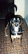 A large breed, drop eared, black and tan with white Doberman/Boxer mix is standing on a brown and tan linoleum floor in front of a doorway and looking up.