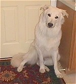 A large breed, medium-haired white mixed breed dog is sitting on a rug against a door.